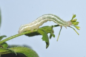 Plants have a memory of pests that spans generations