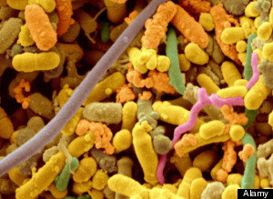 Species-Specific Microbes May Be Key To Healthy Immune System; health