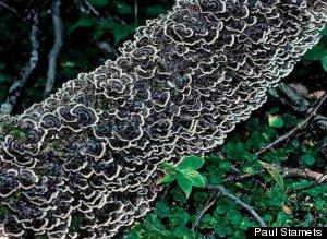 Turkey Tail Mushrooms Help Immune System Fight Cancer