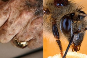 Can bees lead to a longer human life span?