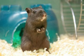Can You Hear Me Now? Stem Cells Restore Hearing In Deaf Gerbils – When Will It Work On Humans?