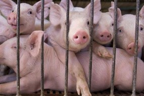 pig-farm-awaken