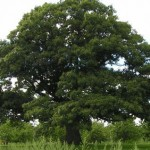 Huge-Oak-Tree-Awaken