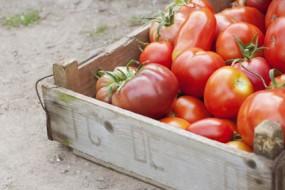 Tomatoes-Awaken