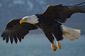 bald_eagle_alaska-awaken