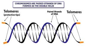telomere_science-Awaken