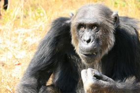 chimp-intelligence-awaken