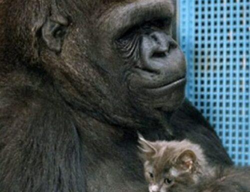 Dr Goodall Remembers Koko The Gorilla