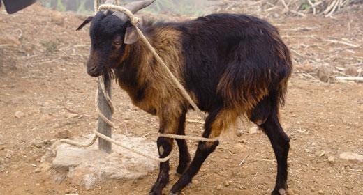 Tied-up-goat-awaken