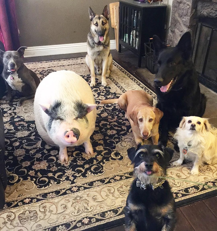 Pet Pig Piggypoo and Crew Unlikely Animal Friends