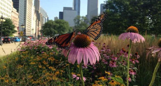 Chicago-monarchs_Derby-Lewis-awaken