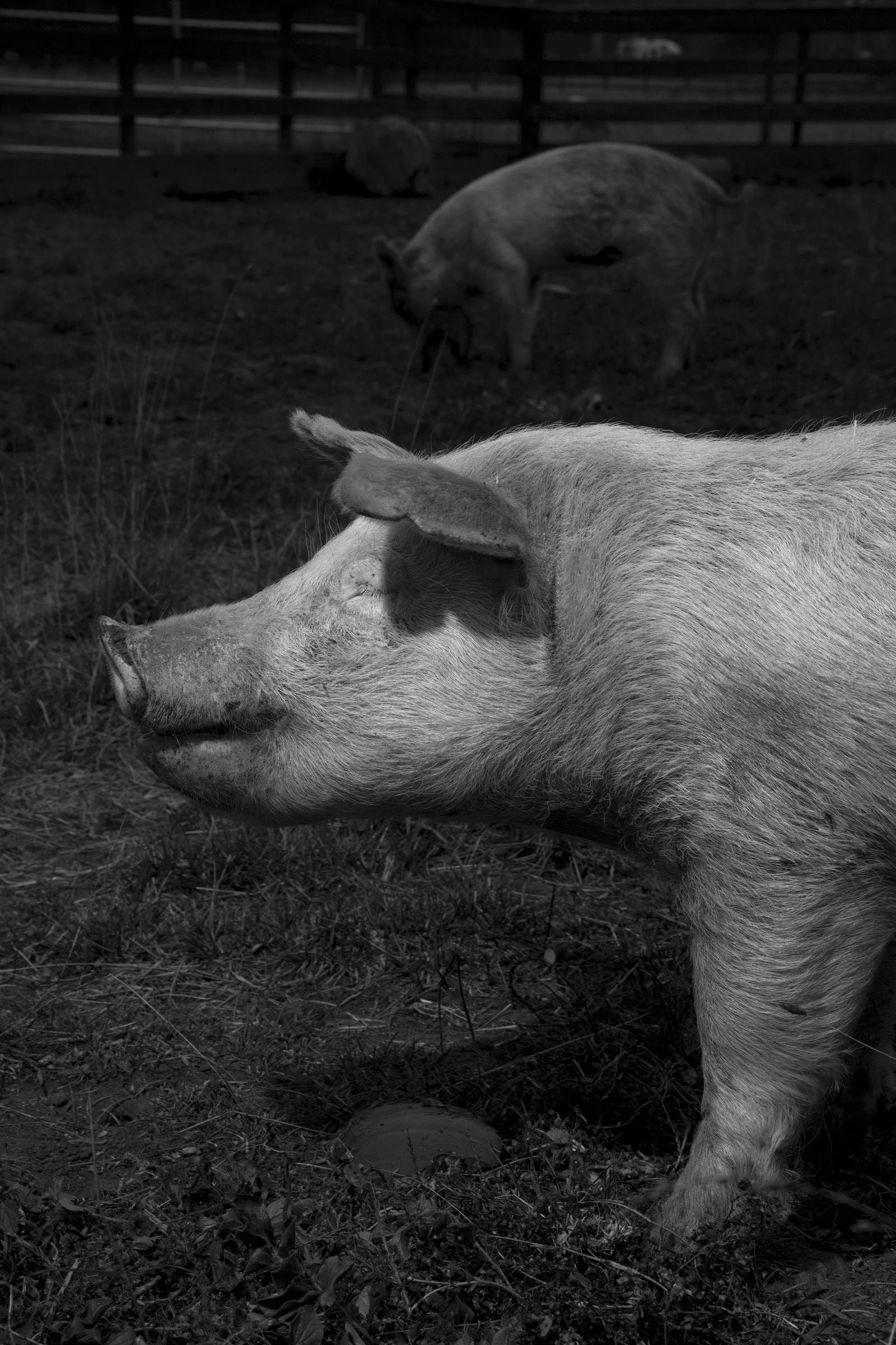 a pig on a sanctuary farm for rescue animals