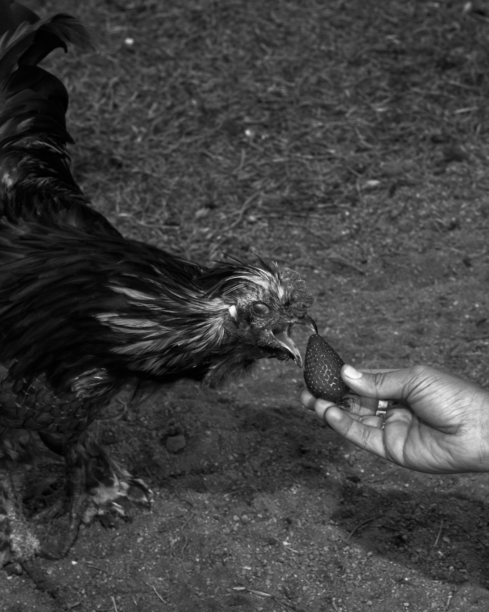 a person's hand holding a strawberry to a chicken