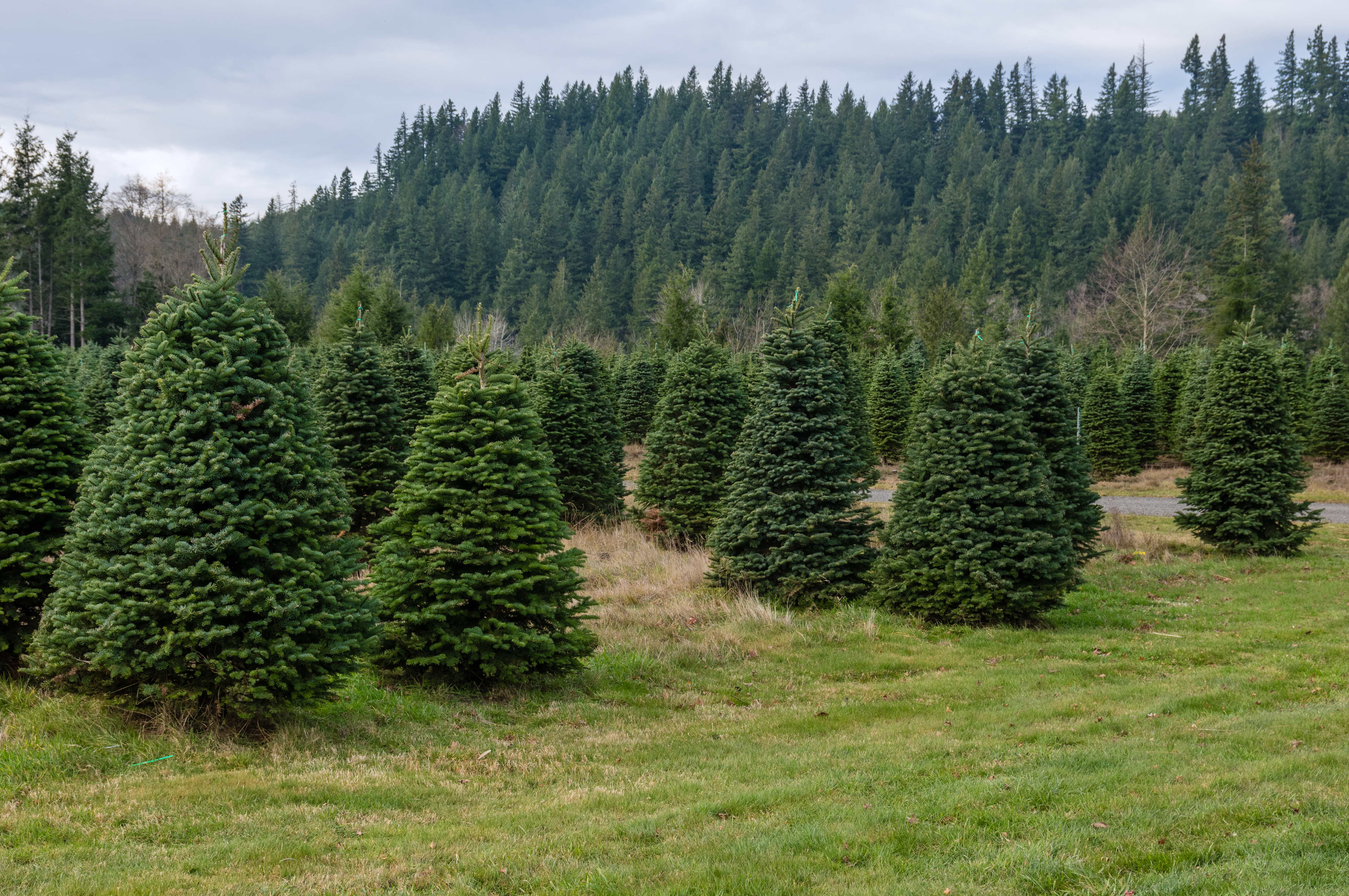 A tree farm growing fir trees for Christmas decorations
