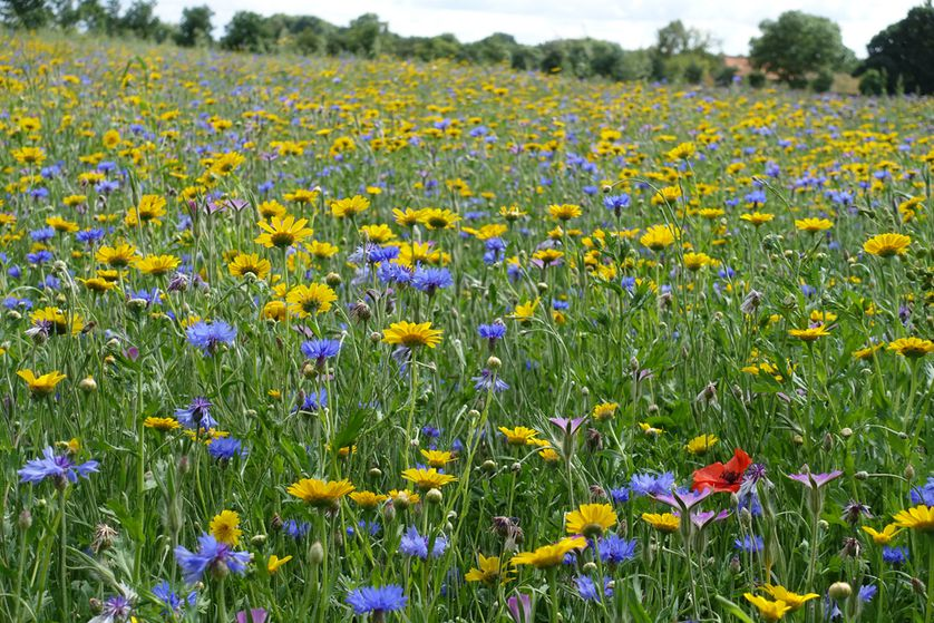A field of yellow and purple wildflowers