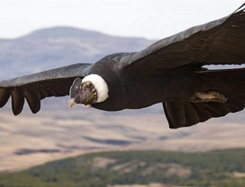 Secrets Of Magnificent Soaring Birds Revealed – Flapping Their Wings for Just 1% of Flight Time