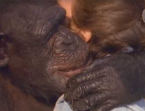Woman Is Magically Reunited With Chimp She Saved 18 Years Ago