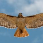 soaring-red-tailed-hawk-tony-hake-awaken