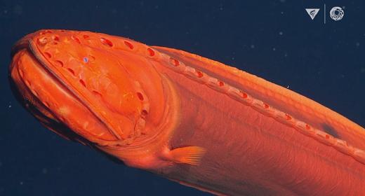 Orange-Fish--awaken