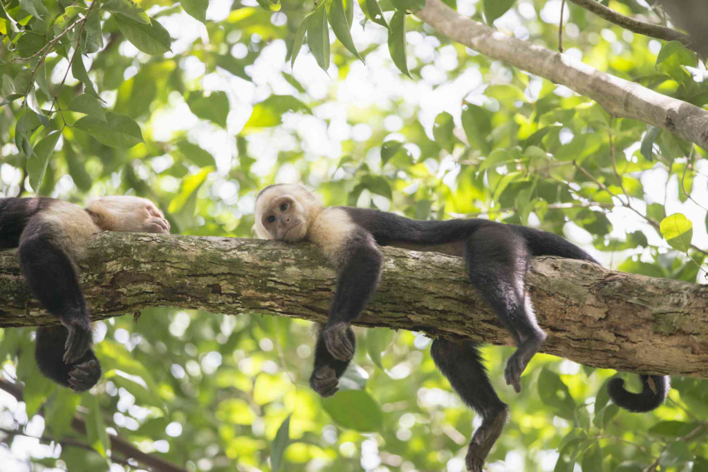 With -faced capuchin monkey-awaken