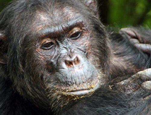 Chimpanzee Social Hierarchy