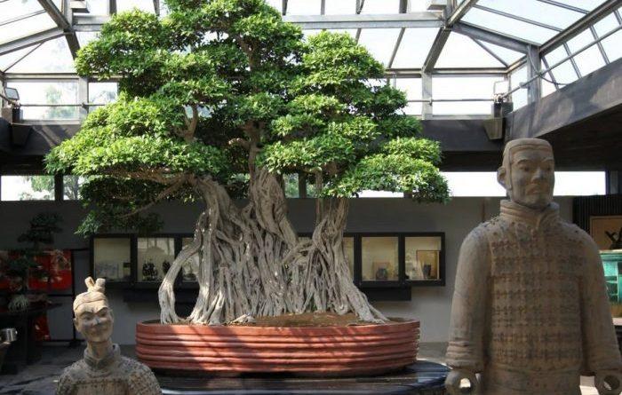 1000 year old Bonsai-awaken