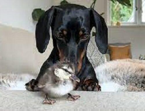 New Friend! Dachshund & Duckling