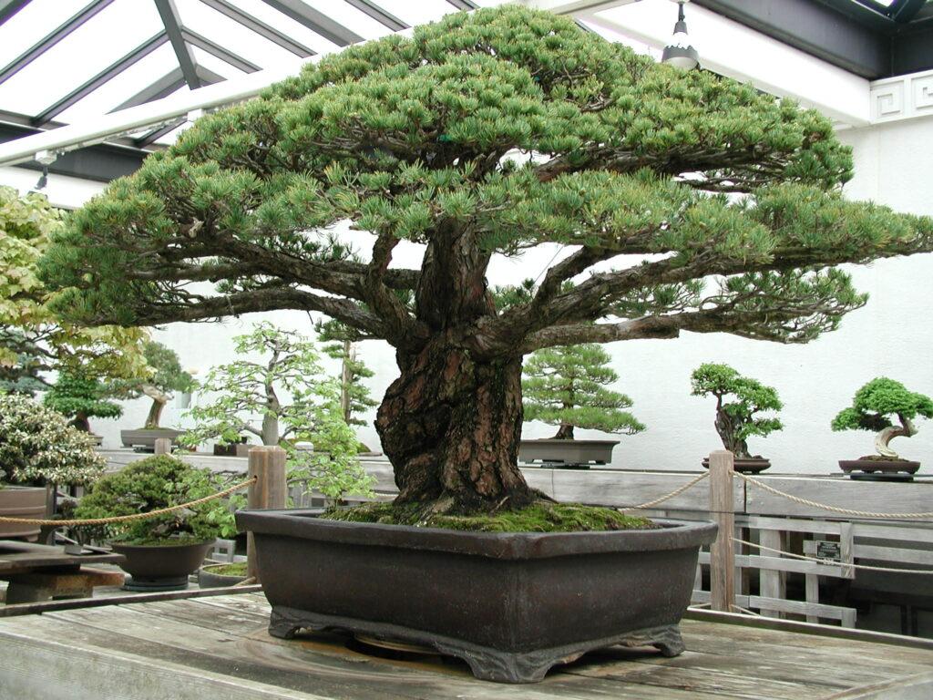 400 year old Bonsai-awaken